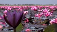 Sea-of-Red-Lotuses